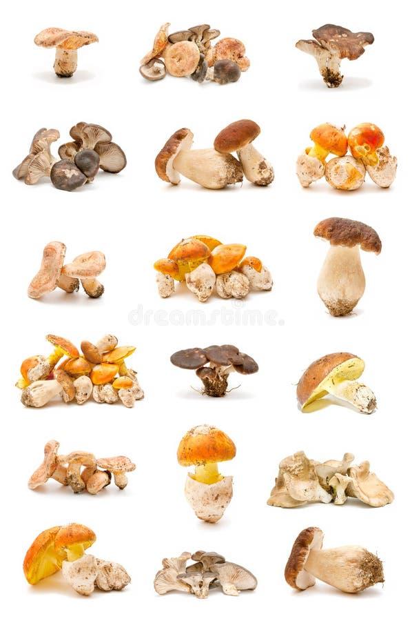 Essbare Pilze stockbilder