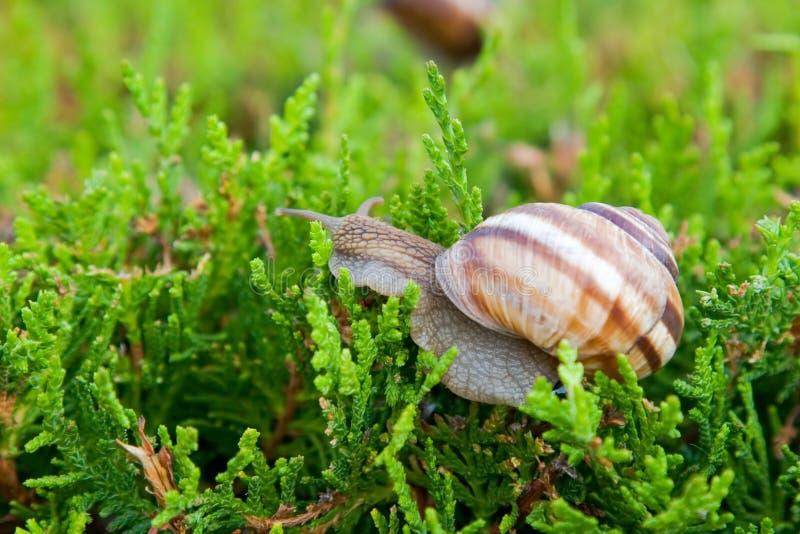 Essbare Schnecke (Schneckenpomatia) lizenzfreies stockbild
