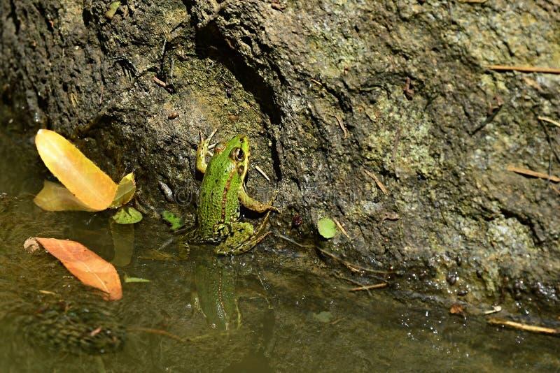 Essbarer auch genannter gemeiner Wasserfrosch junger essbarer Frosch Pelophylax oder grüner Frosch, der auf Steinsäule im Wassert lizenzfreie stockfotografie