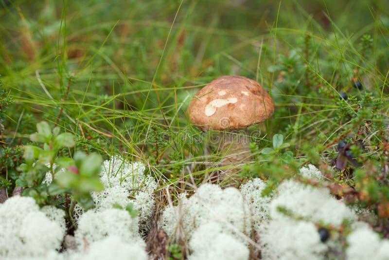Essbarer Boletus der Brown-Schutzkappe im Nordherbstwald lizenzfreies stockfoto