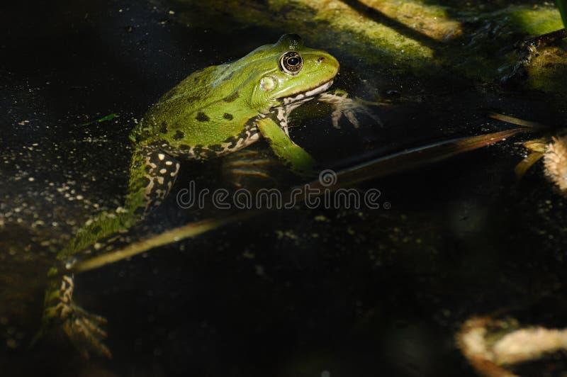 Essbarer Frosch (Pelophylax essbar) lizenzfreie stockbilder