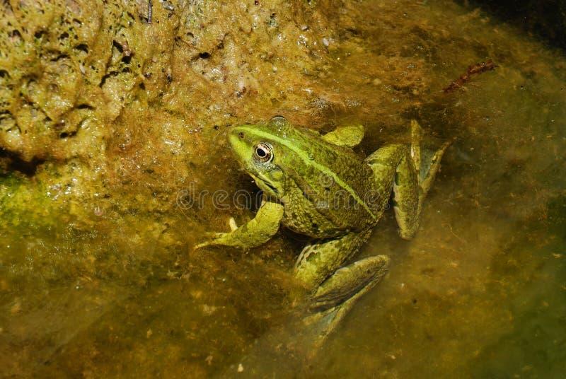 Essbarer Frosch - Pelophylax Kiloliter. essbar stockfotografie