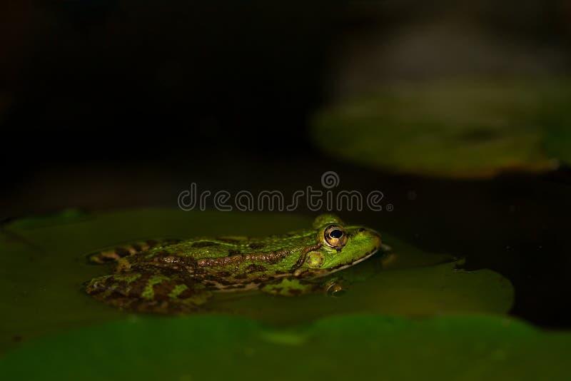 Essbarer Frosch Pelophylax Kiloliter essbar stockfotografie