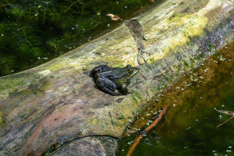 Essbarer gemeiner Wasserfrosch Ranas, der in einem See ein Sonnenbad nimmt stockbild