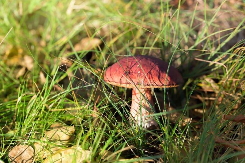 Essbarer Pilz, der im Wald wächst lizenzfreies stockfoto