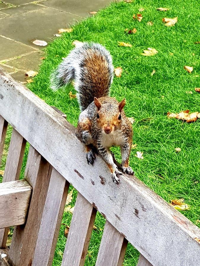 Esse esquilo Cheeky desafia-me sobre nozes, e comida, em wet Postmans Park London imagens de stock royalty free