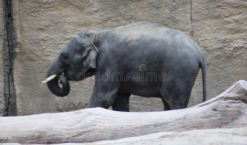 Essen der asiatischen Elefanten lizenzfreie stockfotos