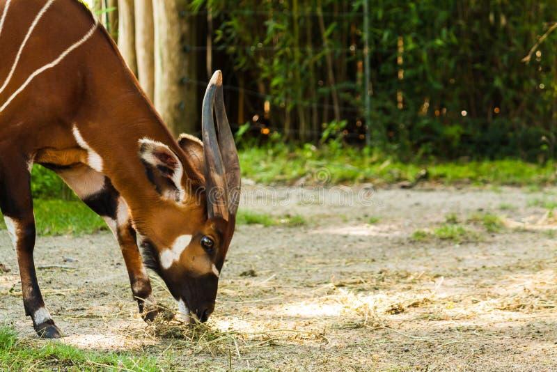 Essen der Bongoantilope lizenzfreie stockfotos