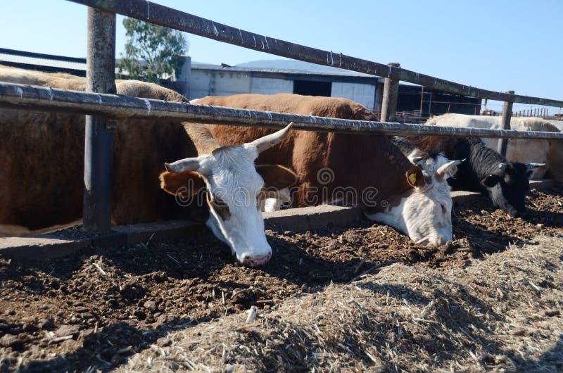 Essen der Kühe lizenzfreies stockbild