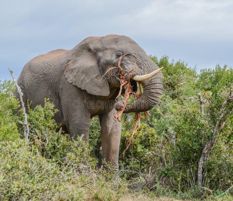 Essen des afrikanischen Elefanten stockfotos