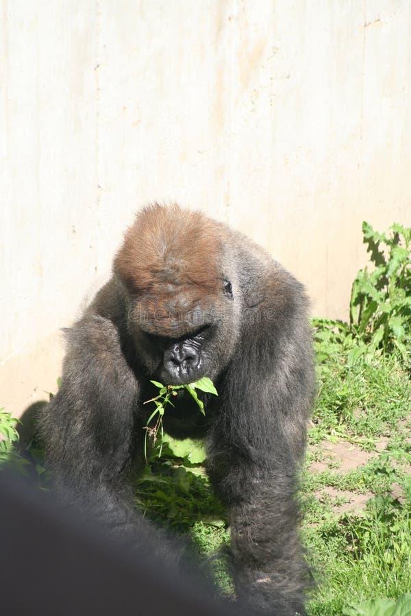 Essen Des Gorillas Lizenzfreies Stockfoto