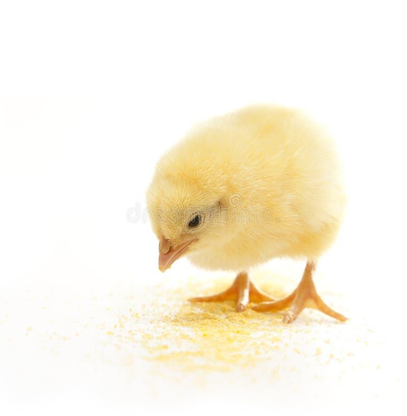 Essen des Huhns lizenzfreie stockbilder