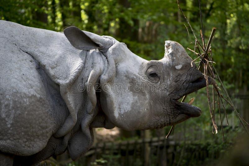 Essen des Nashorns im Zoo stockbilder
