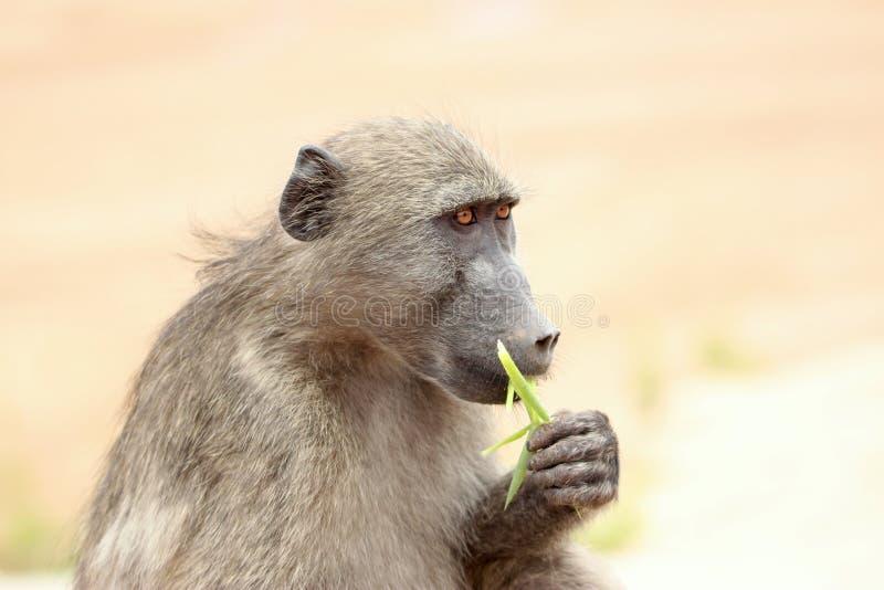 Essen des Pavians auf Safari in Krugerpark in Südafrika lizenzfreie stockbilder