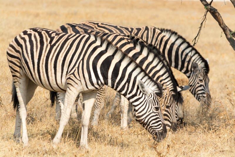 Essen mit vier Zebras stockbilder