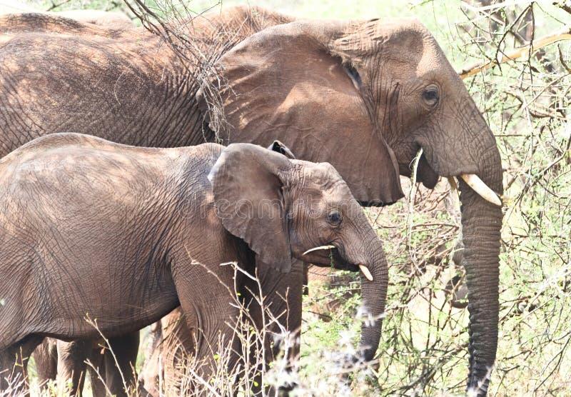 Download Essen Mit Zwei Wildes Afrikanischen Elefanten Stockbild - Bild von säugetier, szene: 26351443