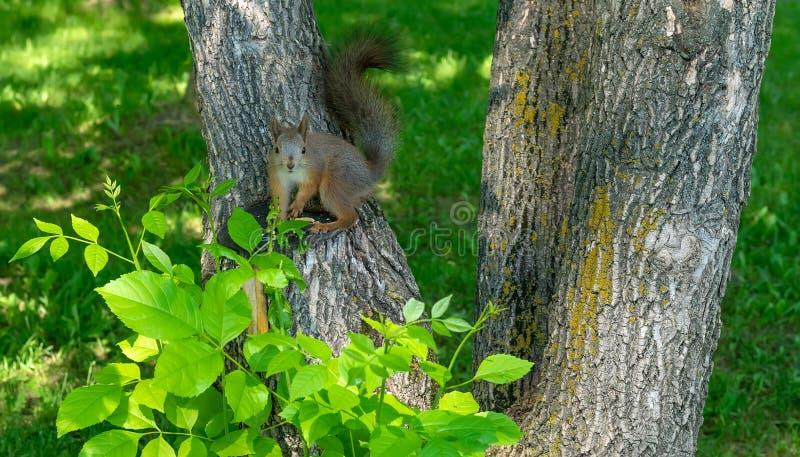 Essendes und aufpassendes Brown-Pelzeichhörnchen lizenzfreies stockbild