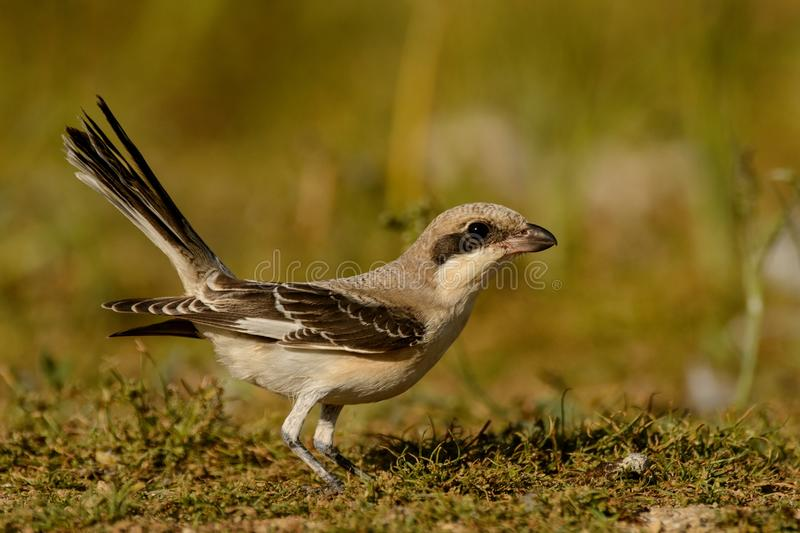 Esser grey shrike Lanius minor stands with a raised tail.  stock image