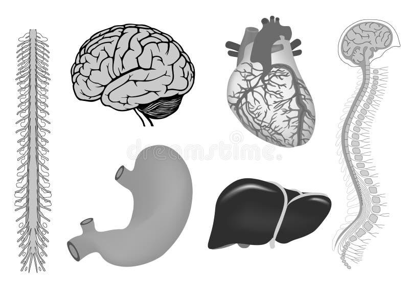 Essere umano brian, stomaco, fegato, cuore isolato su bianco nel colore grigio illustrazione vettoriale