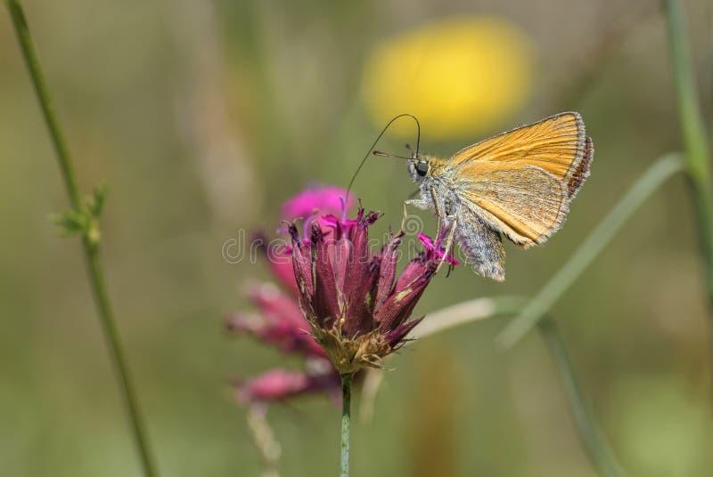 Essexkapitein - Thymelicus-lineola stock foto's
