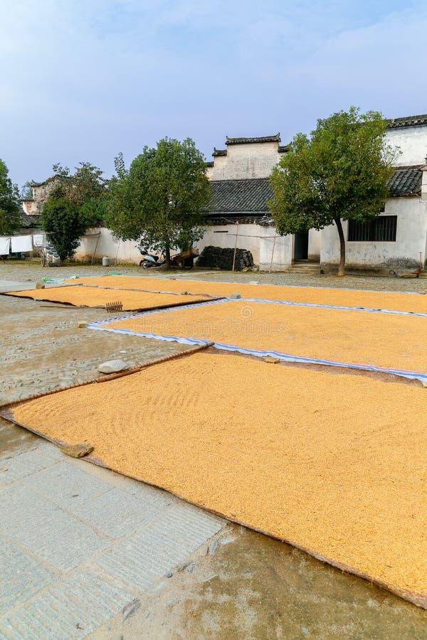 Essiccamento dei grani del grano sulla terra all'aperto fotografia stock libera da diritti