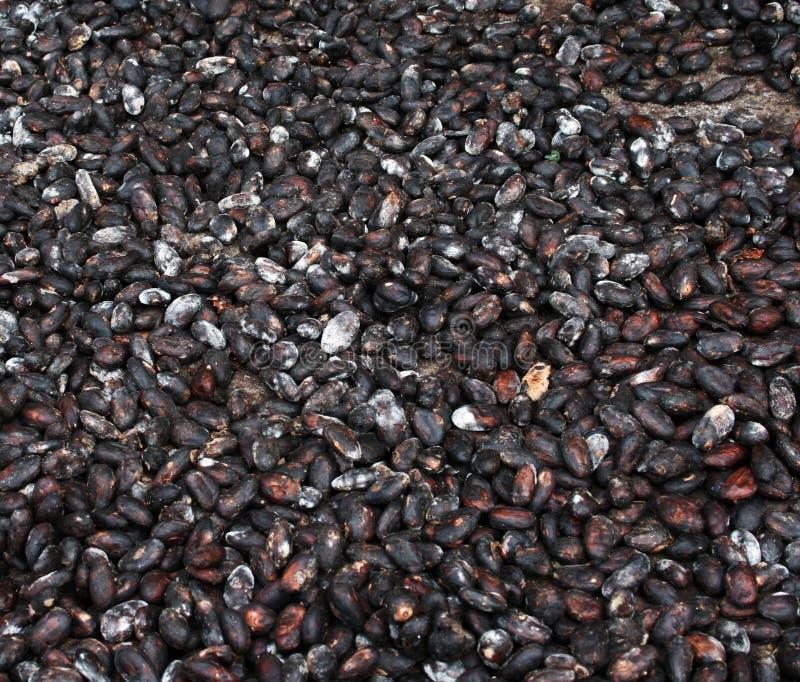 Essiccamento delle fave di cacao fotografia stock libera da diritti