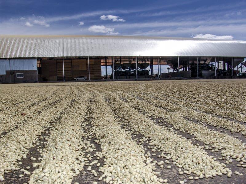 essiccazione del caff? dopo l'azienda agricola del raccolto sul Brasile immagini stock