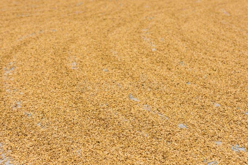 Essiccazione dorata del grano immagine stock libera da diritti