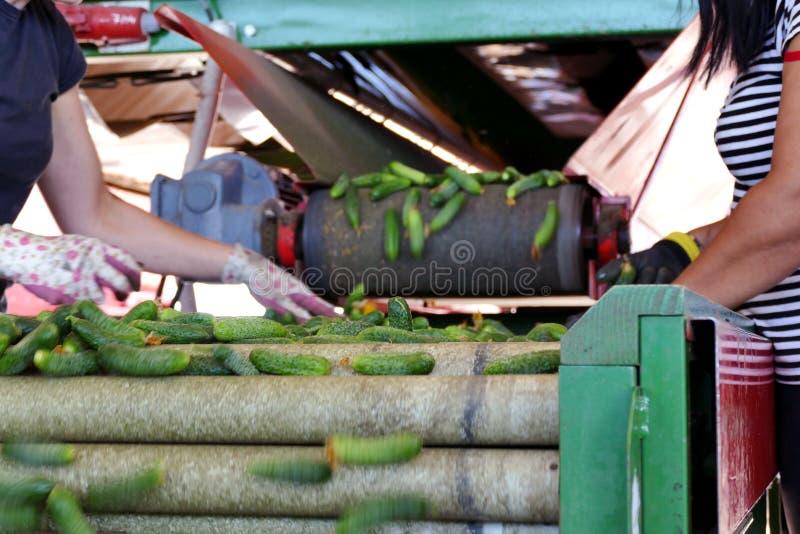 Essiggurken auf einer Tretmühle lizenzfreie stockfotos
