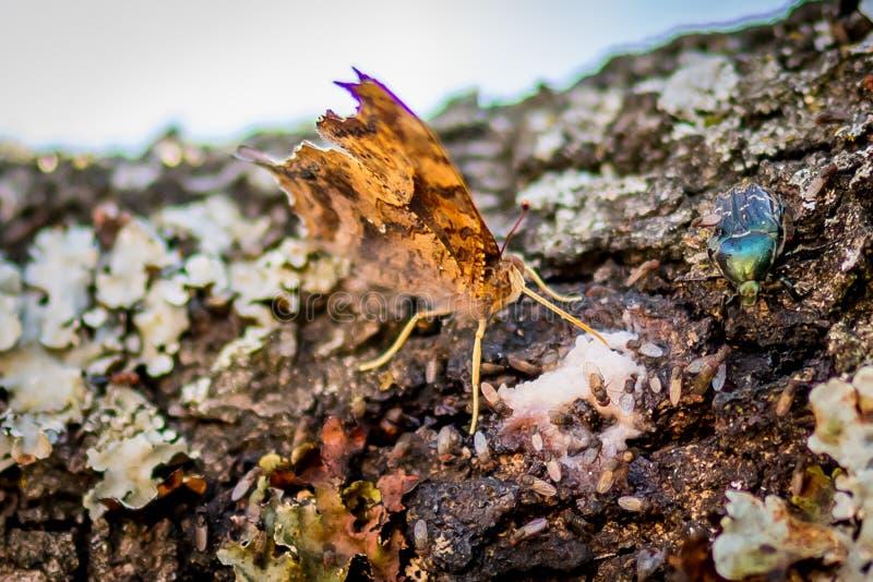 Essudazioni beventi della farfalla di tempo di Texas Spring da una quercia immagine stock libera da diritti