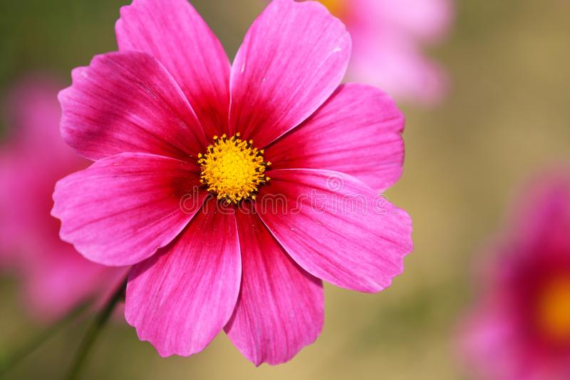 Está en la plena floración con las flores persas hermosas en el parque fotografía de archivo