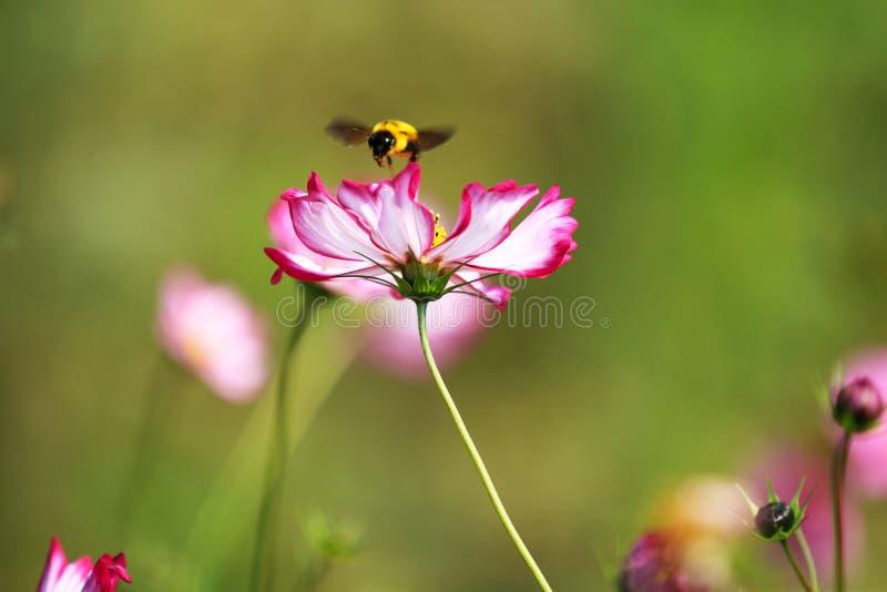 Está en la plena floración con las flores persas hermosas en el parque imagen de archivo libre de regalías