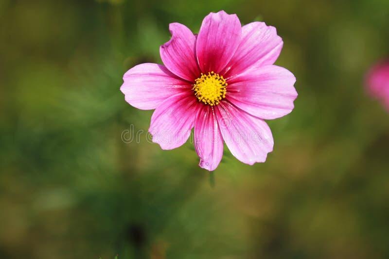 Está en la plena floración con las flores persas hermosas en el parque imagen de archivo