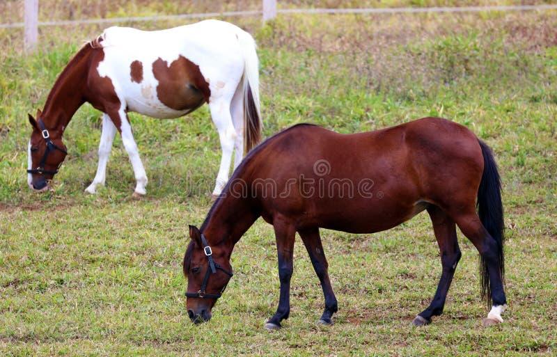 Estábulo do cavalo e escola de equitação modernos no celeiro na exploração agrícola imagens de stock royalty free