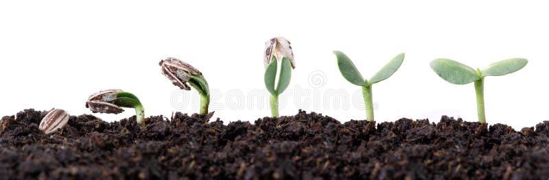 Estágios diferentes da germinação da semente do girassol imagens de stock royalty free