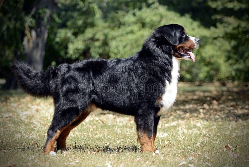 Estándar del perro de montaña de Bernese en un parque foto de archivo libre de regalías