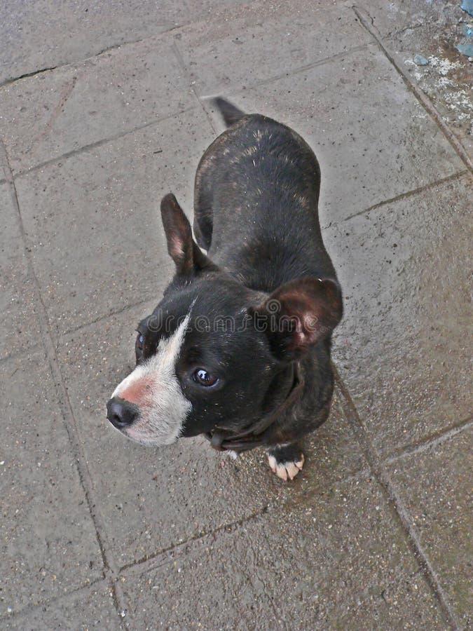 Estática do cão Cães da rua Abuso animal Cão de pária imagem de stock