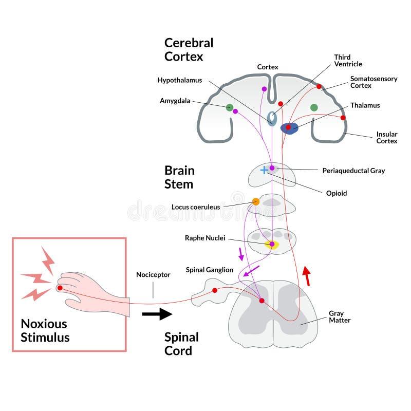 Estímulo nocivo ao diagrama do córtice cerebral ilustração royalty free