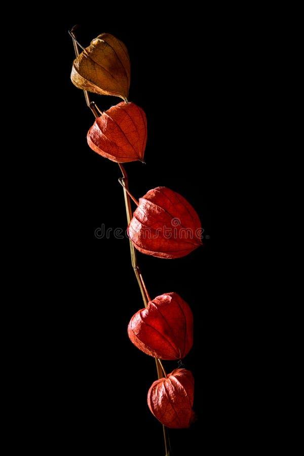 Estúdio disparado de flores delicadas do physalis, rachado e murcho fotos de stock