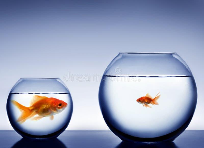 Estúdio disparado de um peixe na bacia foto de stock royalty free