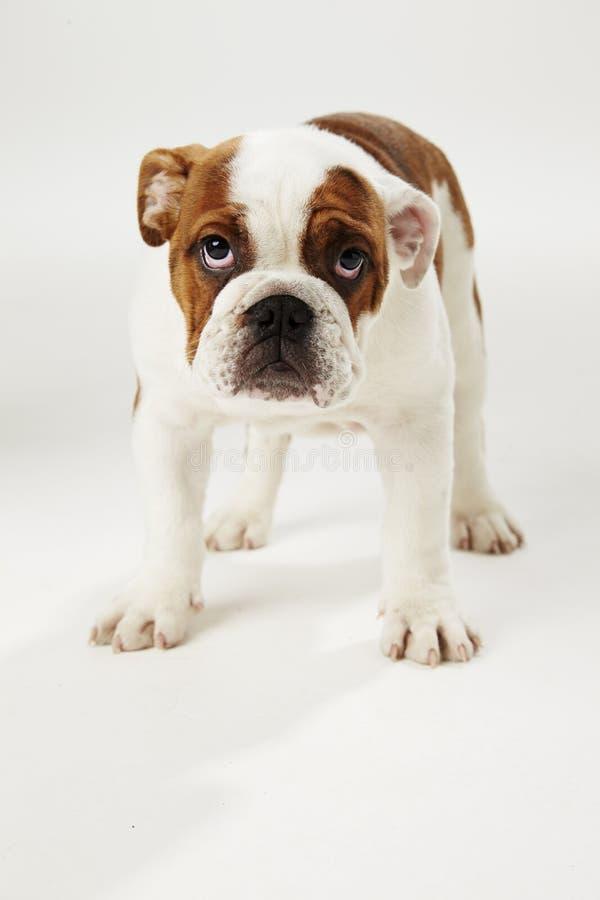Estúdio disparado do cachorrinho britânico do buldogue que está no fundo branco fotografia de stock