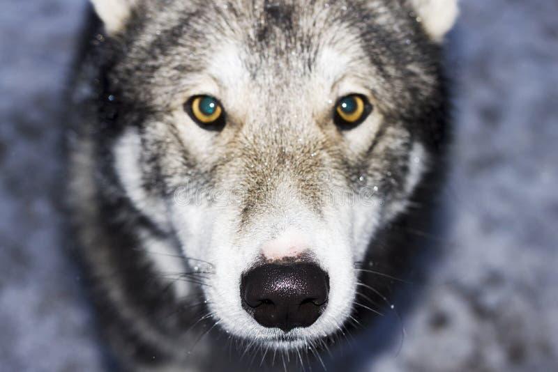 Est - Laika sibérien photographie stock libre de droits