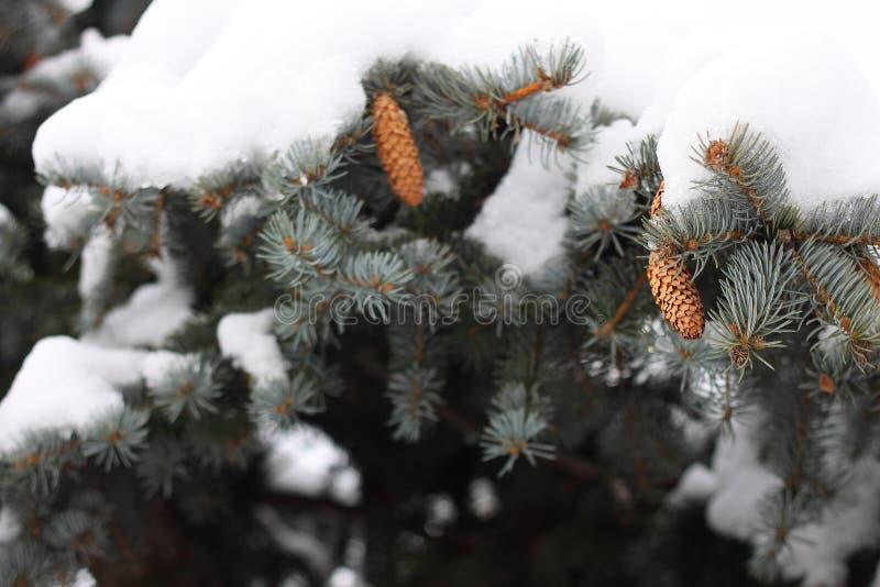 Estação coberto de neve do inverno dos cones do pinheiro fotografia de stock