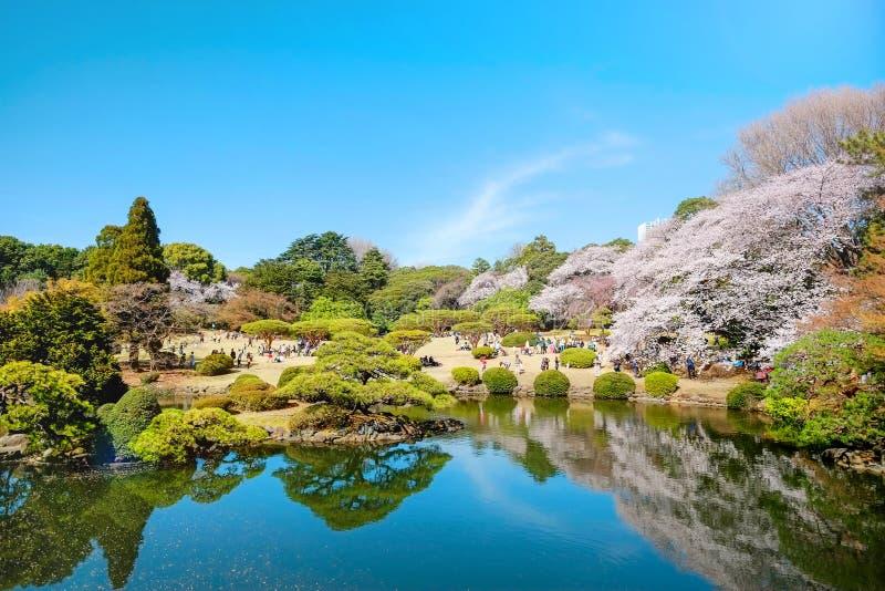 Estação da flor de cerejeira da mola no parque de Shinjuku Gyoen, Tóquio, Japão fotografia de stock royalty free
