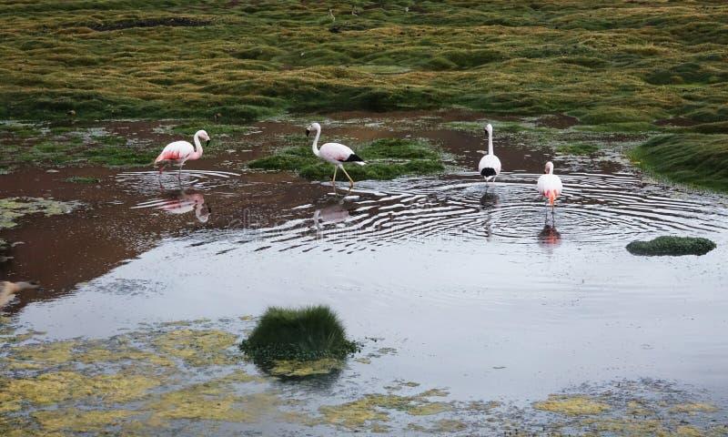 Estação do flamingo em Uyuni, Bolívia fotografia de stock