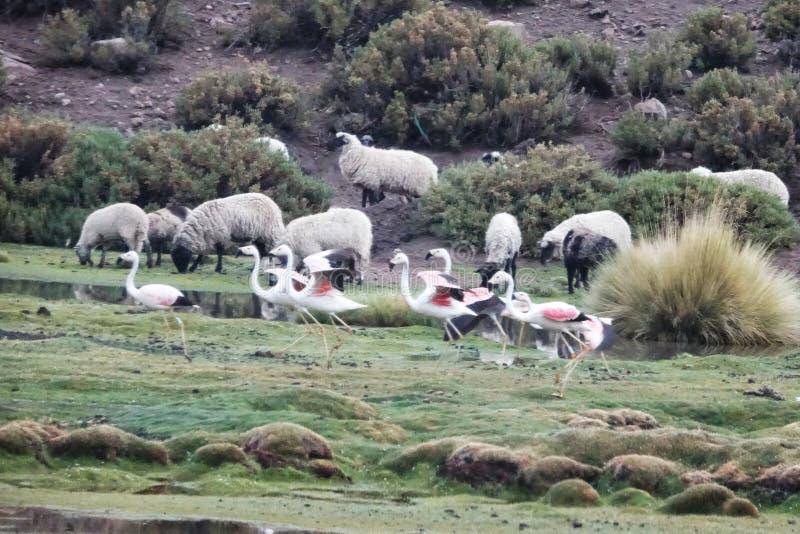 Estação do flamingo em Uyuni, Bolívia fotos de stock royalty free