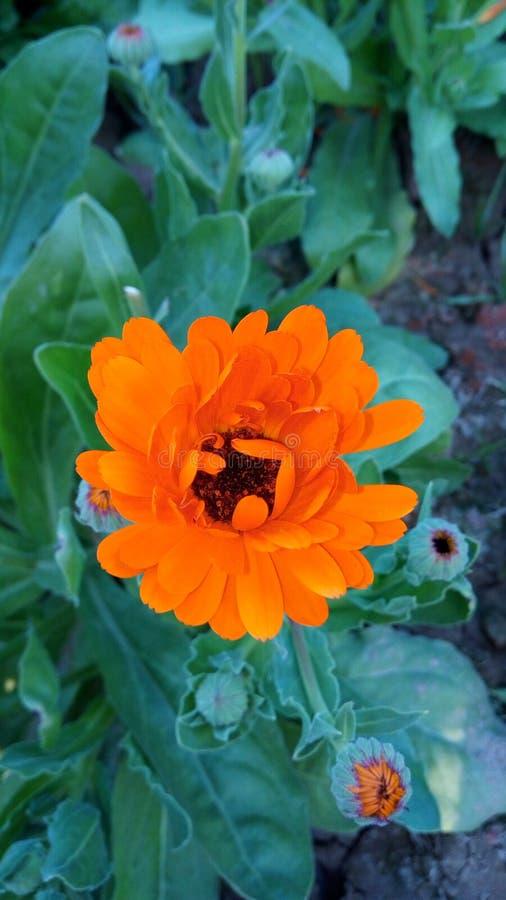 Estação do inverno da flor de Sun fotos de stock