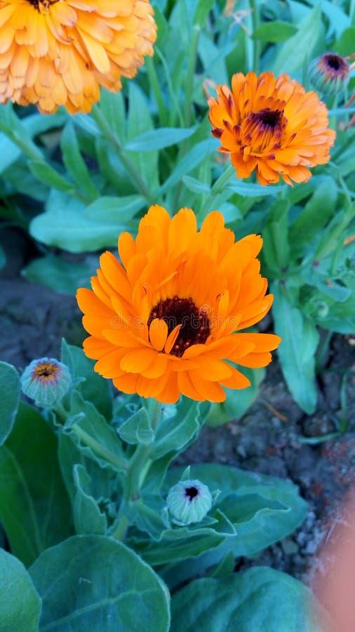 Estação do inverno da flor de Sun foto de stock