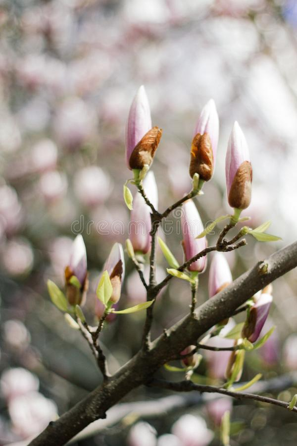 Estação roxa bonita do botão da magnólia na primavera na árvore da magnólia Bot?o da magn?lia foto de stock royalty free