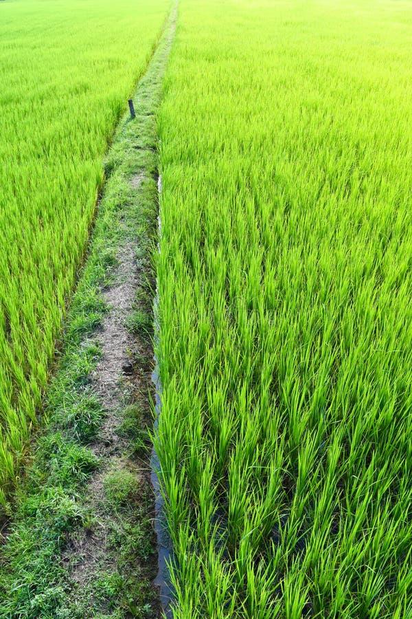 Estação verde do campo do arroz imagens de stock royalty free